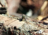 Wild grey dragonfly pratense with green eyes — Stock Photo