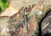 Wild grey dragonfly pratense on a piece of old trunk — Stock Photo