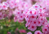 Phlox flower - genus of flowering herbaceous plants — Stock Photo