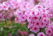 Phlox flower - genus of flowering herbaceous plants — Stock Photo