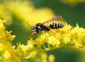 Wasp of the garden on a yellow flower — Stock Photo