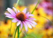 Blooming medicinal herb echinacea purpurea or coneflower — Stock Photo