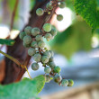 Bunch of unripe green grapevine on the vine — Stock Photo