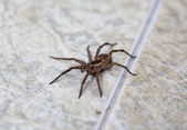 Wolf spider (Lycosidae) — 图库照片