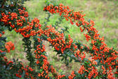 Branch of sea-buckthorn with berries — Stock Photo
