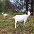 Two goats graze in the meadow in autumn — Foto Stock