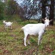 Two goats graze in the meadow in autumn — ストック写真