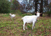 Two goats graze in the meadow in autumn — Stock Photo