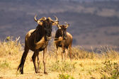 White-bearded wildebeest at kenya — Stock Photo
