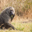 Baboon — Stock Photo #31981861