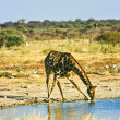 Southern giraffe — Stock Photo