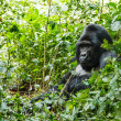 Silverback gorilla — Stock Photo #31985513