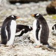 Gentoo penguin — Stock Photo #38283123
