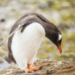 Gentoo penguin — Stock Photo #38283255