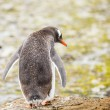 Gentoo penguin — Stock Photo #38283355