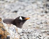 субантарктический пингвин — Стоковое фото
