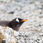 Gentoo penguin — Stock Photo #39353157