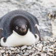 Adelie penguin — Stock Photo #39353601