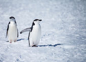Chinstrap penguin — Stock Photo