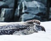 威德尔海豹 — 图库照片
