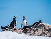 Gentoo penguin family — Stock Photo