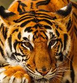 虎 — 图库照片