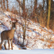 Watchful deer — Stock Photo