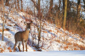 Watchful deer — Stockfoto