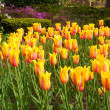 Stock Photo: Tulip symphony