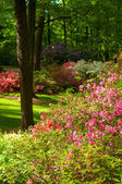 Rhododendron delight — Stock Photo