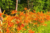 Dziki tygrys lilie — Zdjęcie stockowe