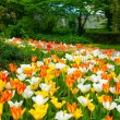 Tulip carpet — Foto Stock