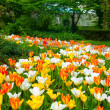 Tulip carpet — Stock Photo #38123907