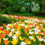 Tulip carpet — Stockfoto