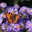 Stock Photo: Scarce Tortoiseshell