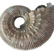 ammonite — Stock Photo
