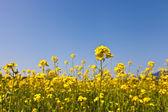Tecavüz çiçeği — Stok fotoğraf