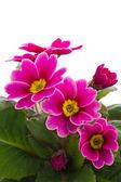 Fleur de primevère — Photo