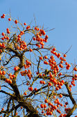 A lot of fruit ripe persimmon tree — Stock Photo