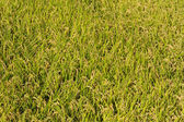 Rice paddy just before harvest — Stock Photo