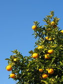 Tree of the citrus fruit is ripe — Stock Photo