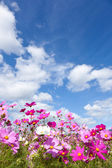 Cosmos flower and the sky — Foto de Stock