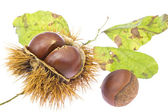 Fruit of chestnut — Stock Photo