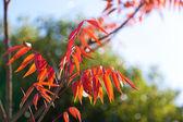 Arbre de cire avec automne feuilles — Photo
