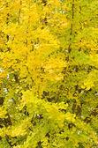 Ginkgo tree in autumn — Stock Photo