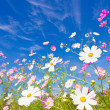Cosmos flower and the sky — Stock Photo