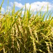 Stock Photo: Rice and blue sky