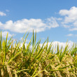 Rice and the blue sky - Stock Photo