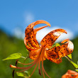 Stock Photo: Tiger Lily and a blue sky