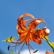 Tiger Lily and a blue sky — Stock Photo #18364797